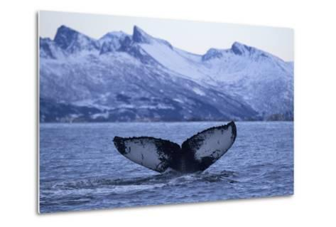 Humpback Whale (Megaptera Novaeangliae) Tail Fluke Above Water before Diving-Widstrand-Metal Print