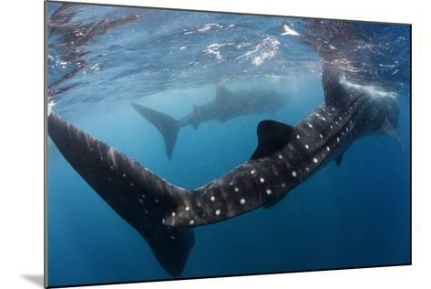 Whale Shark (Rhincodon Typus) Feeding View of Tail, Isla Mujeres, Caribbean Sea, Mexico, August-Claudio Contreras-Mounted Photographic Print