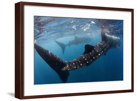 Whale Shark (Rhincodon Typus) Feeding View of Tail, Isla Mujeres, Caribbean Sea, Mexico, August-Claudio Contreras-Framed Art Print