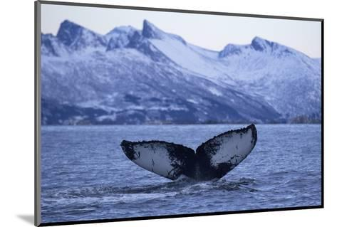 Humpback Whale (Megaptera Novaeangliae) Tail Fluke Above Water before Diving-Widstrand-Mounted Photographic Print