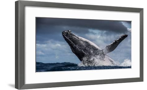 Humpback Whale (Megaptera Novaeangliae) Breaching During Annual Sardine Run-Wim van den Heever-Framed Art Print