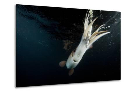 Humboldt Squid (Dosidicus Gigas) Attracted to 'Squid Jig' Bait Which Glows at Night Off Loreto-Franco Banfi-Metal Print