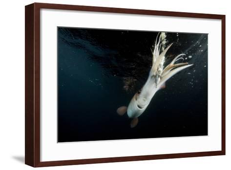 Humboldt Squid (Dosidicus Gigas) Attracted to 'Squid Jig' Bait Which Glows at Night Off Loreto-Franco Banfi-Framed Art Print