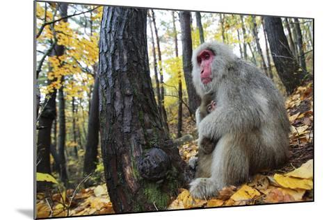 Japanese Macaque - Snow Monkey (Macaca Fuscata) Female with Young in Autumn Woodland-Yukihiro Fukuda-Mounted Photographic Print