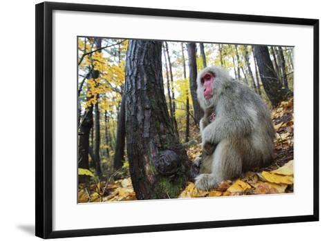 Japanese Macaque - Snow Monkey (Macaca Fuscata) Female with Young in Autumn Woodland-Yukihiro Fukuda-Framed Art Print