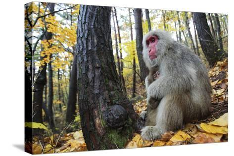 Japanese Macaque - Snow Monkey (Macaca Fuscata) Female with Young in Autumn Woodland-Yukihiro Fukuda-Stretched Canvas Print