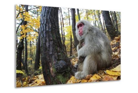 Japanese Macaque - Snow Monkey (Macaca Fuscata) Female with Young in Autumn Woodland-Yukihiro Fukuda-Metal Print