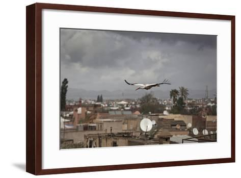 White Stork (Ciconia Ciconia) in Flight over City Buildings. Marakesh, Morocco, March-Ernie Janes-Framed Art Print