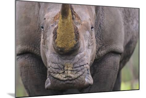 White Rhinoceros (Ceratotherium Simum) Close Up Portrait, Imfolozi National Park, South Africa-Staffan Widstrand-Mounted Photographic Print