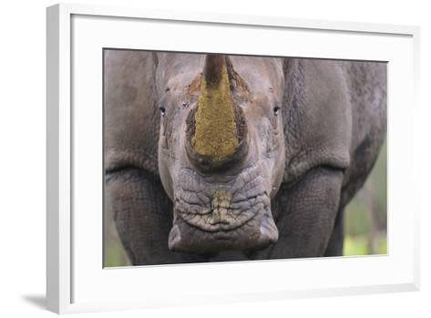 White Rhinoceros (Ceratotherium Simum) Close Up Portrait, Imfolozi National Park, South Africa-Staffan Widstrand-Framed Art Print
