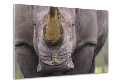 White Rhinoceros (Ceratotherium Simum) Close Up Portrait, Imfolozi National Park, South Africa-Staffan Widstrand-Metal Print