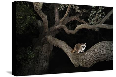 Northern Raccoon (Procyon Lotor)-Rolf Nussbaumer-Stretched Canvas Print
