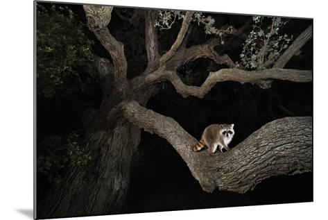 Northern Raccoon (Procyon Lotor)-Rolf Nussbaumer-Mounted Photographic Print