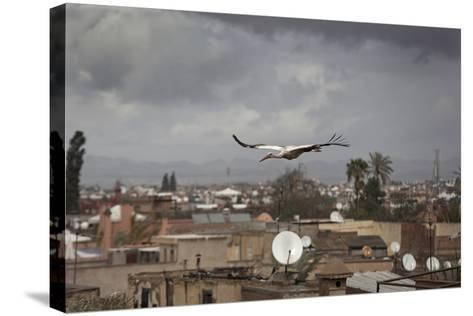 White Stork (Ciconia Ciconia) in Flight over City Buildings. Marakesh, Morocco, March-Ernie Janes-Stretched Canvas Print