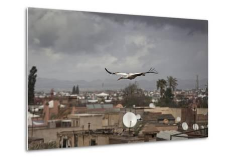 White Stork (Ciconia Ciconia) in Flight over City Buildings. Marakesh, Morocco, March-Ernie Janes-Metal Print