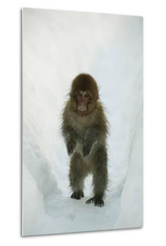 Japanese Macaque - Snow Monkey (Macaca Fuscata) 8-Month-Old Monkey Walking Through Thick Snow-Yukihiro Fukuda-Metal Print