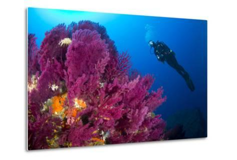 Scuba Diver with Red Gorgonian Coral (Lophogorgia Chilensis)-Franco Banfi-Metal Print