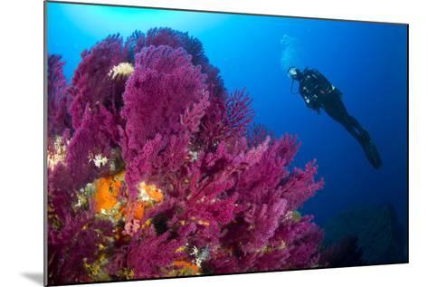 Scuba Diver with Red Gorgonian Coral (Lophogorgia Chilensis)-Franco Banfi-Mounted Photographic Print
