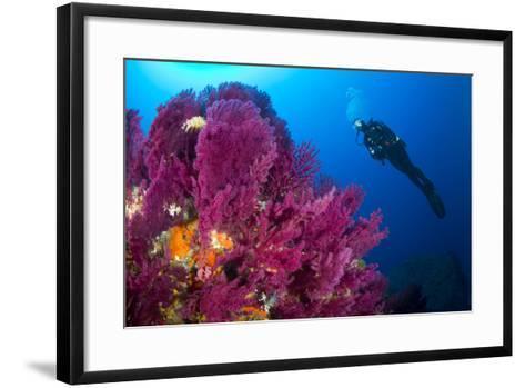 Scuba Diver with Red Gorgonian Coral (Lophogorgia Chilensis)-Franco Banfi-Framed Art Print