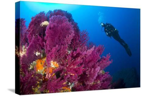 Scuba Diver with Red Gorgonian Coral (Lophogorgia Chilensis)-Franco Banfi-Stretched Canvas Print