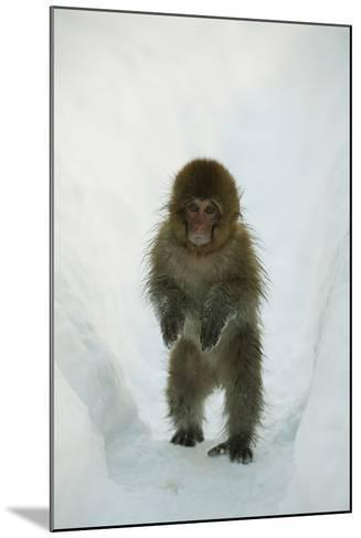 Japanese Macaque - Snow Monkey (Macaca Fuscata) 8-Month-Old Monkey Walking Through Thick Snow-Yukihiro Fukuda-Mounted Photographic Print