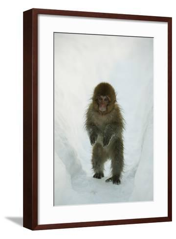 Japanese Macaque - Snow Monkey (Macaca Fuscata) 8-Month-Old Monkey Walking Through Thick Snow-Yukihiro Fukuda-Framed Art Print