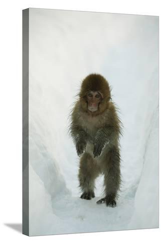 Japanese Macaque - Snow Monkey (Macaca Fuscata) 8-Month-Old Monkey Walking Through Thick Snow-Yukihiro Fukuda-Stretched Canvas Print