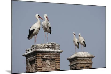 White Stork (Ciconia Ciconia) Breeding Pairs on Chimney Stacks, Spain-Jose Luis Gomez De Francisco-Mounted Photographic Print