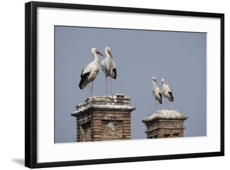 White Stork (Ciconia Ciconia) Breeding Pairs on Chimney Stacks, Spain-Jose Luis Gomez De Francisco-Framed Art Print