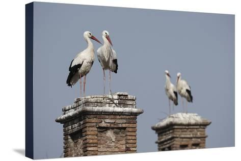 White Stork (Ciconia Ciconia) Breeding Pairs on Chimney Stacks, Spain-Jose Luis Gomez De Francisco-Stretched Canvas Print