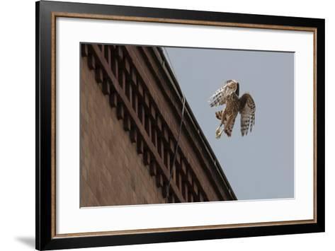 Northern Goshawk (Accipiter Gentilis), Juvenile Taking Flight from Building. Berlin, Germany. July-Sam Hobson-Framed Art Print