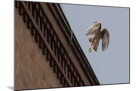 Northern Goshawk (Accipiter Gentilis), Juvenile Taking Flight from Building. Berlin, Germany. July-Sam Hobson-Mounted Photographic Print