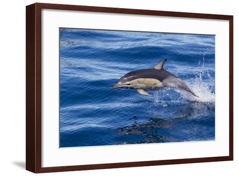 Short-Beaked Common Dolphin (Delphinus Delphis) Breaking the Surface and Leaping from the Water-Brent Stephenson-Framed Art Print