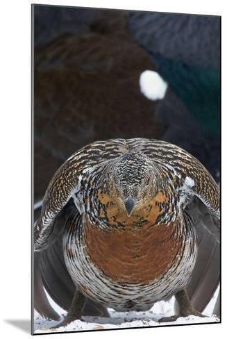 Female Capercaillie (Tetrao Urogallus) Ready to Mate, Vaala, Finland, May-Markus Varesvuo-Mounted Photographic Print