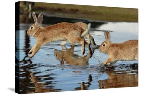 Feral Domestic Rabbit (Oryctolagus Cuniculus) Running in Puddle-Yukihiro Fukuda-Stretched Canvas Print