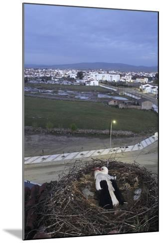 White Stork (Ciconia Ciconia) in Nest Overlooking Town-Jose B. Ruiz-Mounted Photographic Print