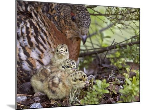 Female Capercaillie (Tetrao Urogallus) with Three Chicks, Kuhmo, Finland, June-Markus Varesvuo-Mounted Photographic Print
