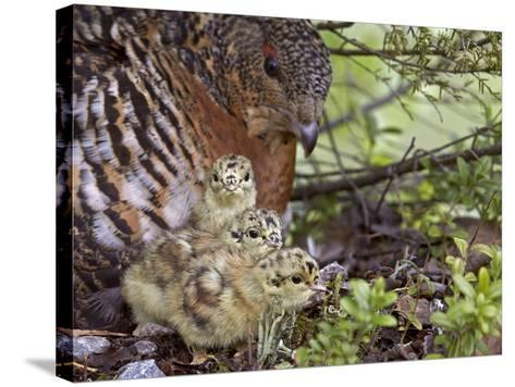 Female Capercaillie (Tetrao Urogallus) with Three Chicks, Kuhmo, Finland, June-Markus Varesvuo-Stretched Canvas Print