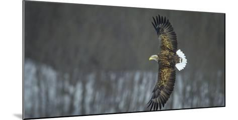 White Tailed Sea Eagle (Haliaeetus Albicilla) in Flight, Hokkaido, Japan, March-Wim van den Heever-Mounted Photographic Print