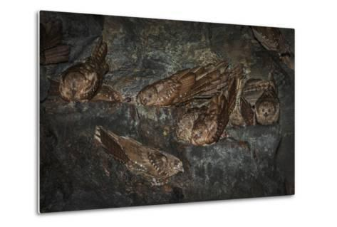 Oilbird (Steatornis Caripensis) Adults in Nesting - Roosting Cave Asa Wright Field Centre, Trinidad-Melvin Grey-Metal Print