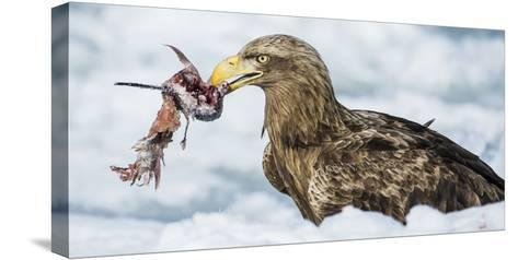 White Tailed Sea Eagle (Haliaeetus Albicilla) Feeding on Fish on Pack Ice-Wim van den Heever-Stretched Canvas Print