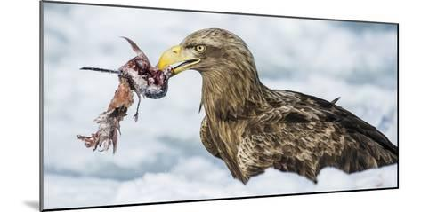 White Tailed Sea Eagle (Haliaeetus Albicilla) Feeding on Fish on Pack Ice-Wim van den Heever-Mounted Photographic Print