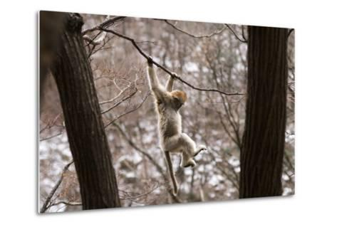 Sichuan Golden Snub-Nosed Monkey (Rhinopithecus Roxellana) Hanging Off Branch-Gavin Maxwell-Metal Print