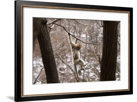 Sichuan Golden Snub-Nosed Monkey (Rhinopithecus Roxellana) Hanging Off Branch-Gavin Maxwell-Framed Art Print