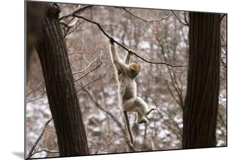 Sichuan Golden Snub-Nosed Monkey (Rhinopithecus Roxellana) Hanging Off Branch-Gavin Maxwell-Mounted Photographic Print