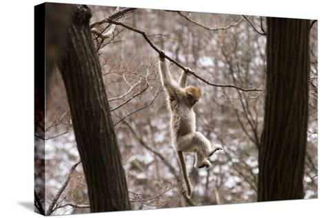 Sichuan Golden Snub-Nosed Monkey (Rhinopithecus Roxellana) Hanging Off Branch-Gavin Maxwell-Stretched Canvas Print
