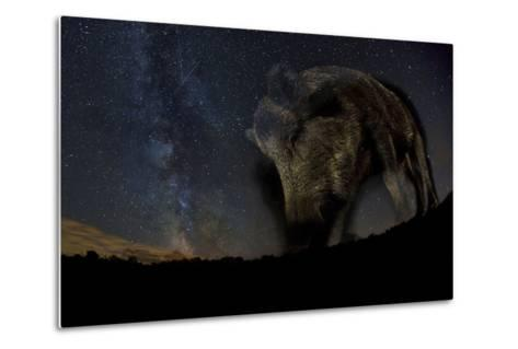 Wild Boar (Sus Scrofa) at Night with the Milky Way in the Background, Gyulaj, Tolna, Hungary-Bence Mate-Metal Print