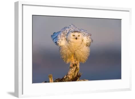 Snowy Owl (Bubo Scandiacus) Fluffing Feathers-Gerrit Vyn-Framed Art Print