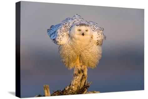 Snowy Owl (Bubo Scandiacus) Fluffing Feathers-Gerrit Vyn-Stretched Canvas Print