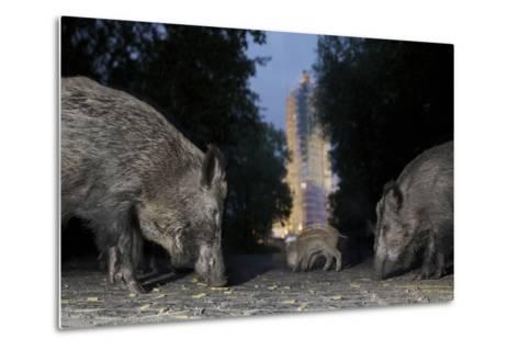 Wild Boar (Sus Scrofa) Sow-Florian Mallers-Metal Print